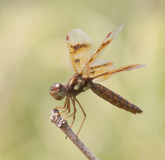 Female Amberwing - Perithemis tenera - female