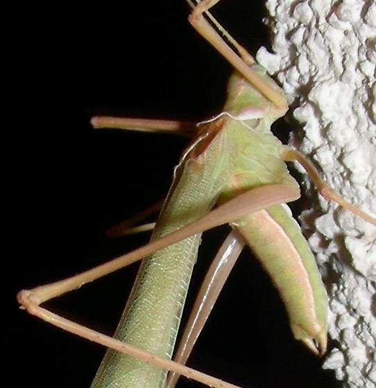Thread-legged Katydid - Arethaea gracilipes - male