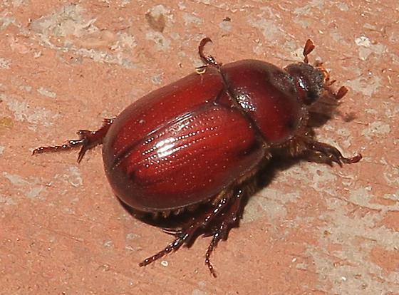 Oxygrylius ruginasus?