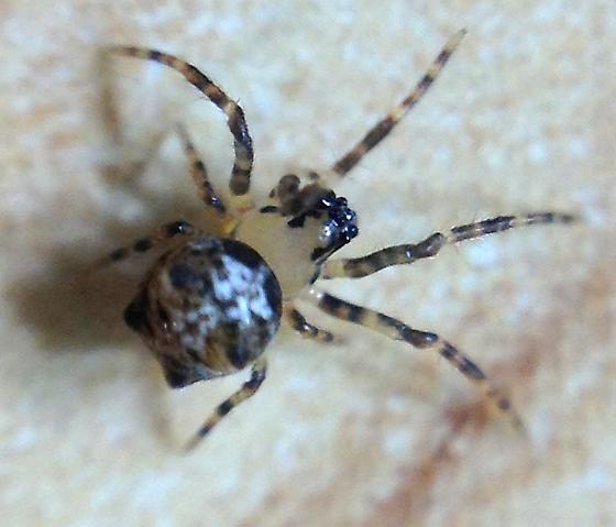Little Spider - Dolichognatha pentagona