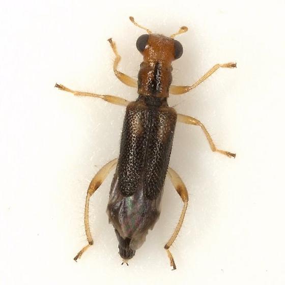 Phyllobaenus verticalis (Say) - Phyllobaenus verticalis