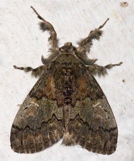Yellow-based Tussock Moth - Dasychira basiflava - male