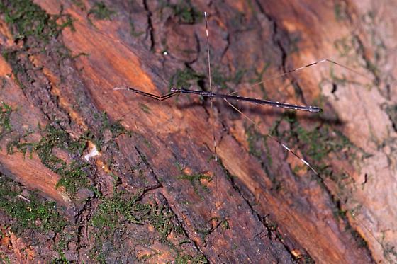 Thread-legged Bug - Emesaya