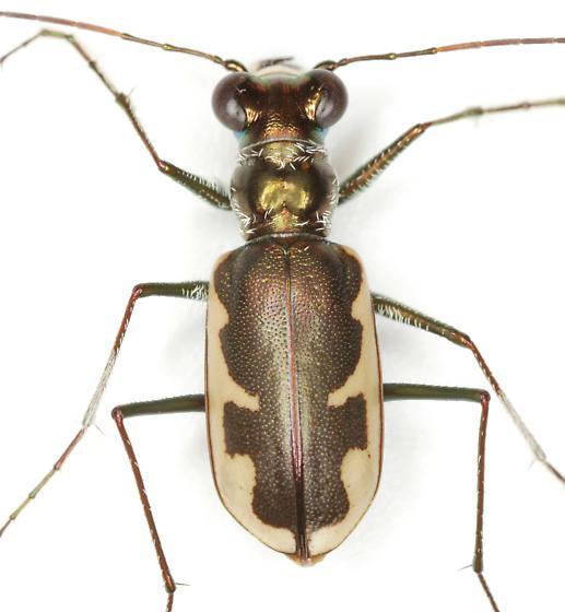 Habroscelimorpha circumpicta (LaFerté-Sénectère) - Eunota circumpicta