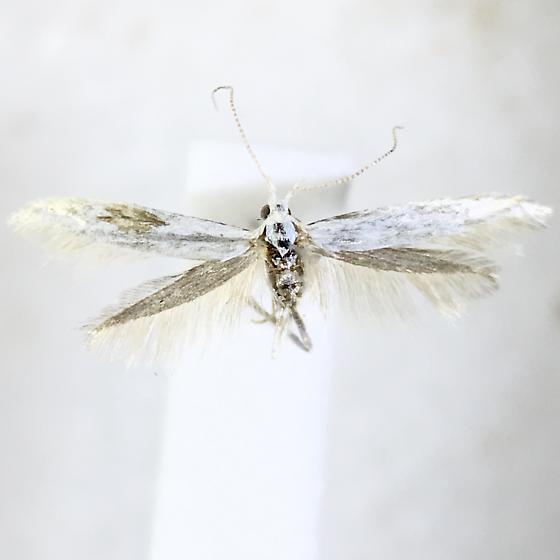 Coleophora bernoulliella