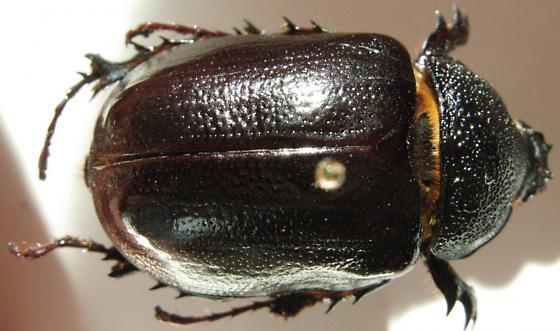 Megasoma punctulatus - Megasoma punctulatum - female