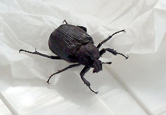 Southern Ontario Canada Bug/Beetle - Osmoderma scabra