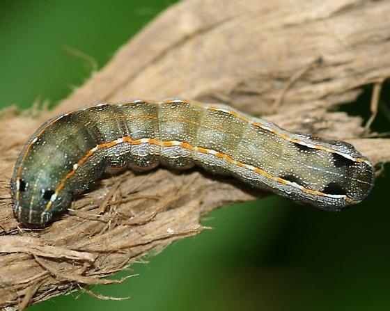 Caterpillar - Spodoptera latifascia