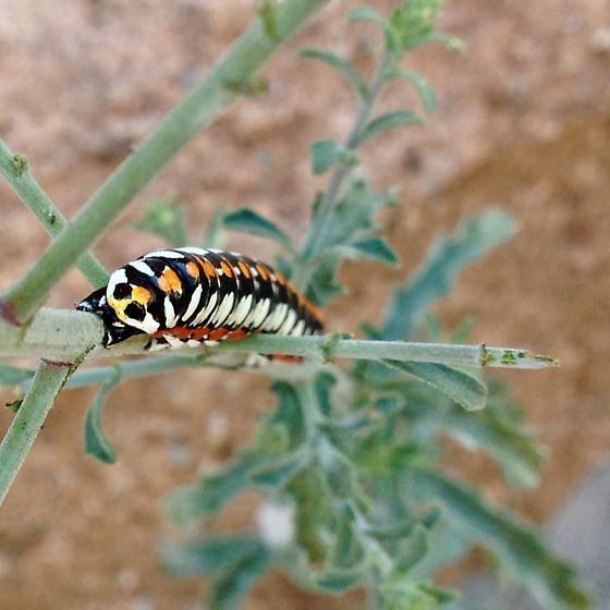 Cucullia dorsalis caterpillar - Cucullia dorsalis