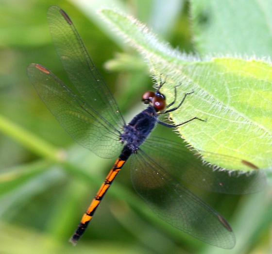 Small Dark Dragonfly (Sympterum sp.?) for ID - Erythrodiplax berenice