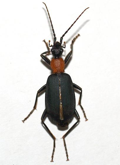 Dark-legged western - Galerita mexicana