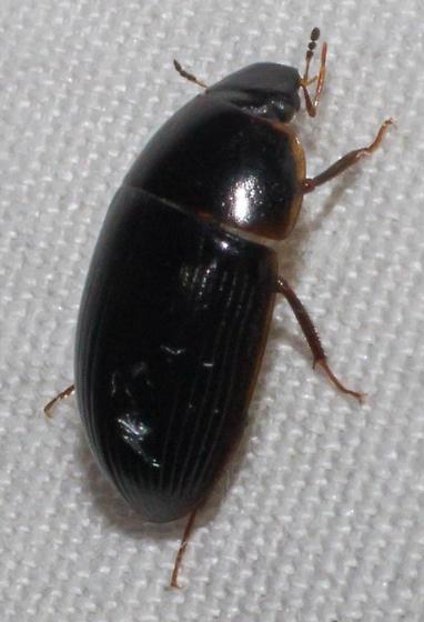 Black water scavenger - Helocombus bifidus