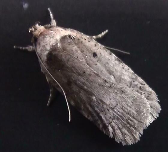 Elachistidae: Agonopterix argillacea? - Agonopterix argillacea