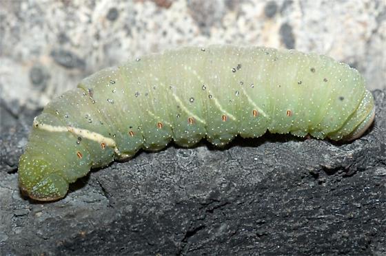 Large Fat Green Caterpillar - Pachysphinx modesta