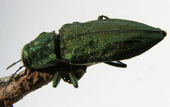 Green Beetle???  Auburn, WA 98001 - Trachykele blondeli