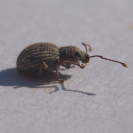 Small weevil? - Calomycterus setarius