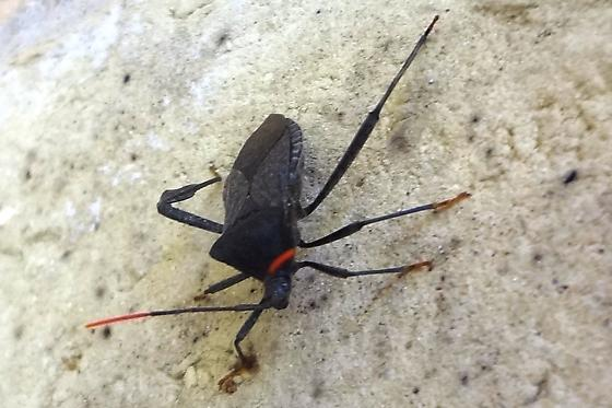Found this beetle on the brick wall of our house about 3:00 p.m.  Noted red tips on the antenae and paddle-like rrear legs. - Acanthocephala terminalis