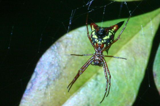 Cat Head Spider  - Micrathena sagittata