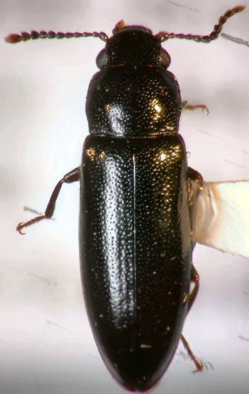 Tenebrionid Beetle? - Sphalma quadricollis