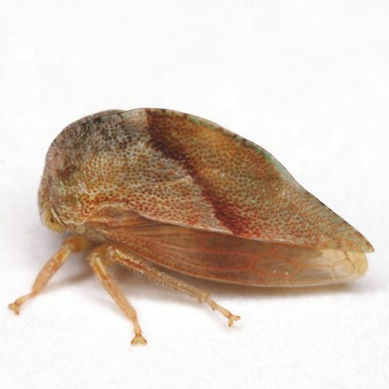 Cyrtolobus arcuatus (Emmons) - Cyrtolobus arcuatus - male