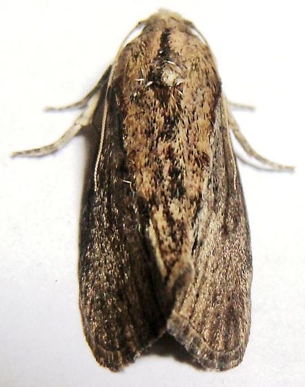 Pyralid - Greater Wax Moth - Galleria mellonella