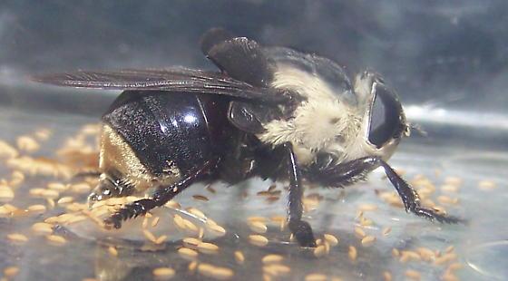 Cuterebra fontinella - female
