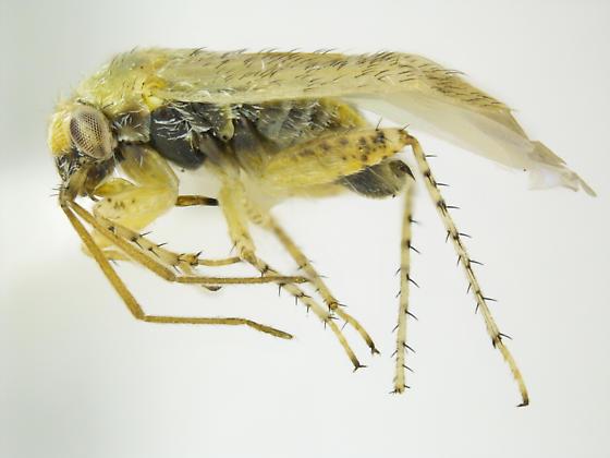 Megalopsallus sparsus - male