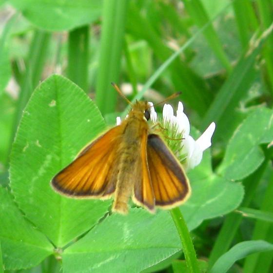 Hesperiid - Thymelicus lineola