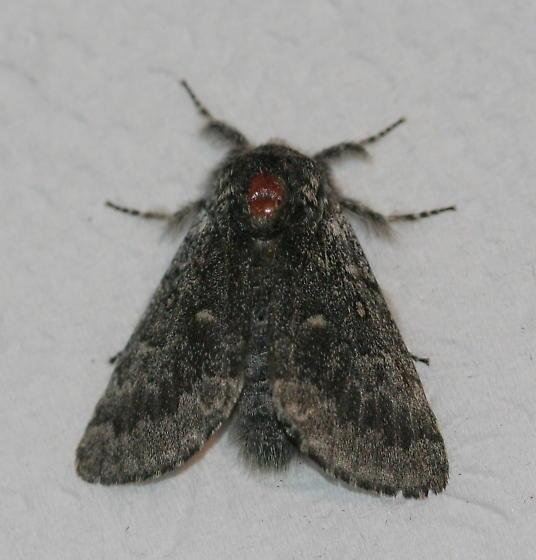 Unknown Moth - Colocasia propinquilinea