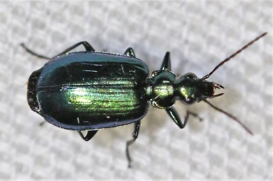 Lebia sp. - Lebia viridis
