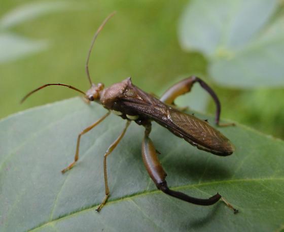 Bug - Hyalymenus tarsatus