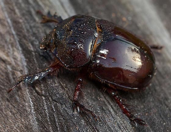 What type of beetle? - Strategus antaeus
