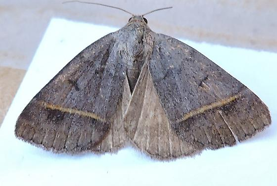 Ptichodis bucetum  - Ptichodis bucetum