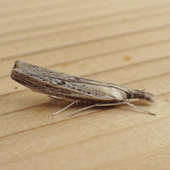 Crambidae: Fissicrambus mutabilis - Fissicrambus mutabilis
