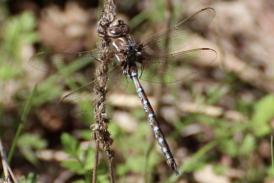 Springtime Darner - Basiaeschna janata - male