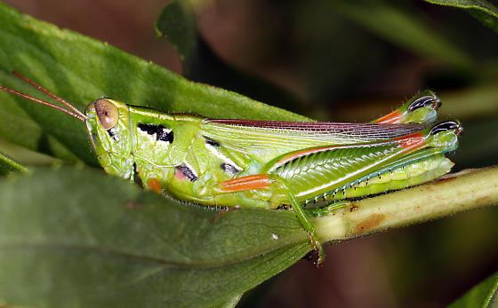 unidentified Acrididae - Hesperotettix viridis - female