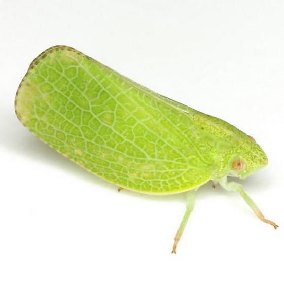 Acanalonia conica (Say) - Acanalonia conica