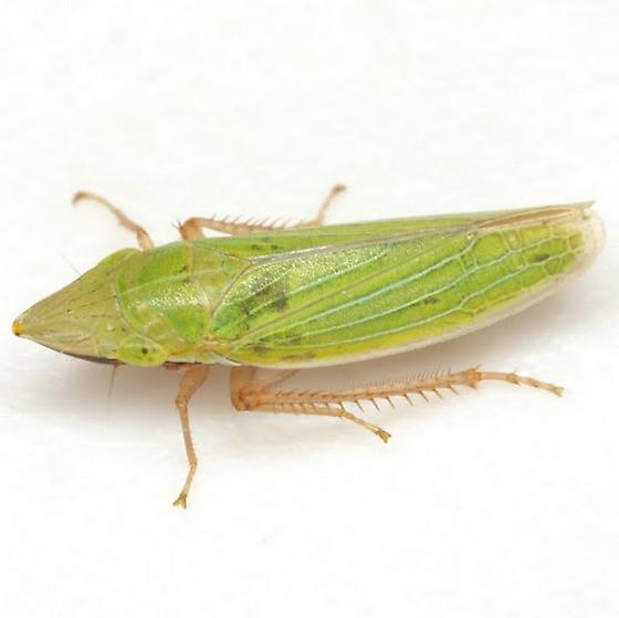 Draeculacephala antica Walker - Draeculacephala antica
