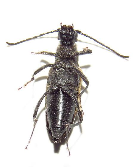 Beetle - Pygoleptura nigrella