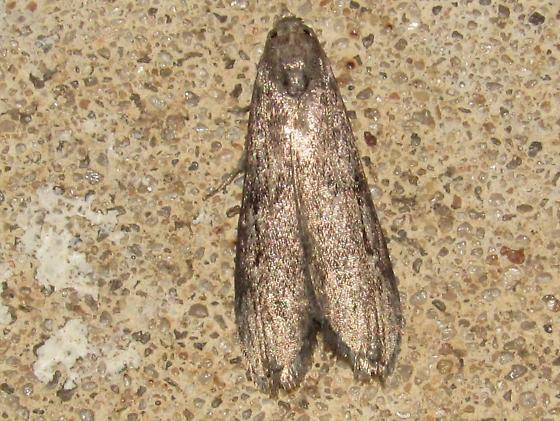 moth sp. - Aphomia terrenella - female