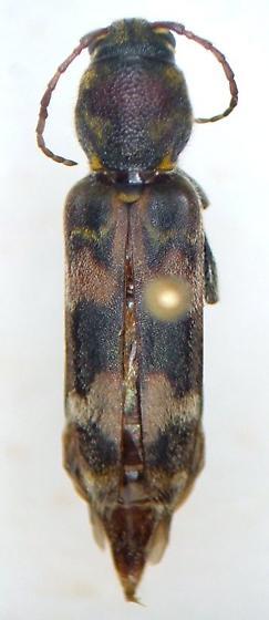 Xylotrechus colonus - female