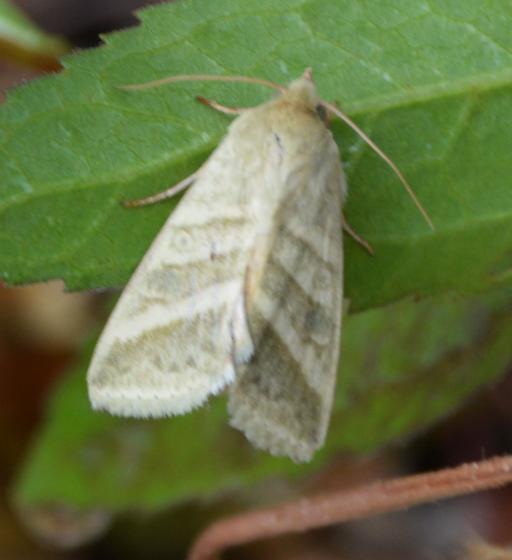 moth 092717 - Chloridea virescens