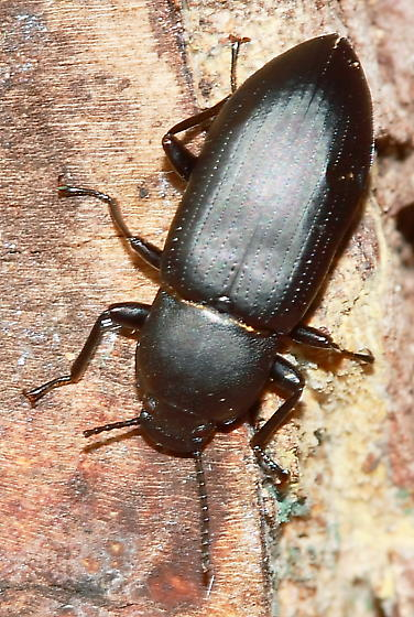 Beetle - Centronopus opacus