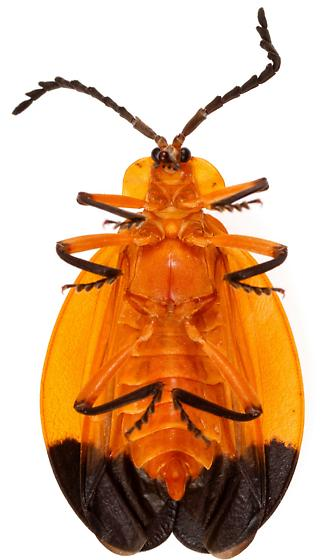 Male, Lycus arizonensis? - Lycus arizonensis - male