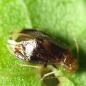 Tiny Bug - Polypsocus corruptus