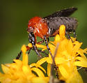 Bug? Beetle? Fly? Something else? - Dilophus spinipes - female