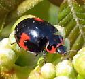 Lady beetle - Neoharmonia venusta
