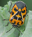 bug - Murgantia histrionica