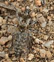 Ablautus mimus? - Ablautus - female