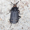Red-lined Carrion Beetle  - Necrodes surinamensis